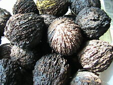 2 Black Walnut Tree Seeds Fresh 2016 Harvest