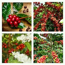 10 semillas  cafe Coffea Arabica siembra seeds graines sementes samen semi .