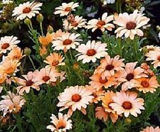 100 Daisy Seeds African Daisy Salmon Flower Seeds