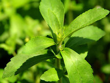 STEVIA SWEETENER natural VERY SWEET 500 seeds seeds