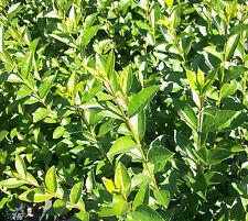 25 Stück Heckenpflanzen Liguster ovalifolium immergrün 4-5 Tr., 60-90 cm