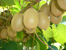 Kiwi Seeds, New Zealand Kiwi Fruit Seeds, 20 Finest Seeds