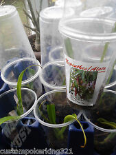 FREE NEPENTHES PLANT (ALATAS) Cutting + SHIPPING, HANDLING & PACKAGING!