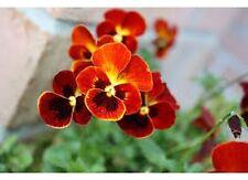 Pansy- (Viola x Wittrockiana Swiss Giant) -  Alpenglow - 50 seeds