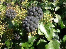 100 Hedera helix ivy seeds from Spain-Portugal border attract bees late flowers