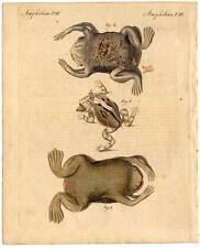 Pipa-Kröte-Kröten-Amphibien-Tiere Bertuch altkol Kupferstich 1800