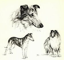 8x10 Matted Rough Long Hair & Smooth Collie Print by BRIDGET OLERENSHAW c1963