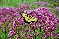joe pye weed PINK flower, ATTRACTS BUTTERFLIES, 120 seeds! GroCo*,