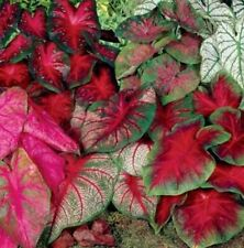 5 Caladium Bulbs Mix Colors (Fresh From The Garden) Spring Blooming