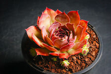 Sempervivum 'Granby' - Succulent rare plant - Display in 110mm pot (M)