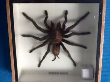 REAL EXOTIC HUGH 4 INCH TARANTULA SPIDER TAXIDERMY FRAMED