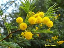 100 Graines de  Mimosa d'hiver 'Acacia dealbata' Silver wattle tree seeds