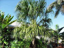 Livistonea decora Ribbon Fan Palm 5 seeds