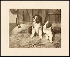 BORDER COLLIE TWO PUPPIES AND A BEE CHARMING DOG PRINT MOUNTED READY TO FRAME