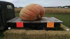"2 Atlantic Giant Pumpkin Seeds from ""Jamie"" 1659.5 lbs North Dakota State Record"