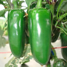 100 Jalapeno Chile Pepper Seeds Super Non Gmo Heirloom Vegetable Plant Seeds