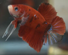 live betta fish- IMPORTED MALE- KOI HALFMOON PLAKAT