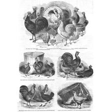 Prize Poultry; Polish fowls, Bantams, Cochin China, Dorking - Antique Print 1845