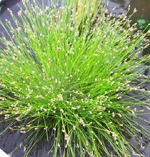 Scirpus cernuus souchet penché plante bassin