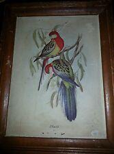 Vintage J. GOULD Bird Print framed lithoprint 3D parakeets