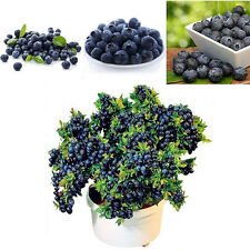 50Pcs Lots Blueberry Tree Seed Fruit Blueberry Seed Potted Bonsai Seeds Plant L7