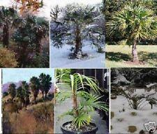 6 Winterharte Palmenarten.... die robustesten Freilandpalmen / Samen-Sortiment