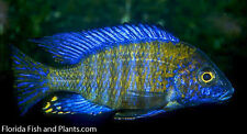 Four Fish Colony Chitande Island Peacock 1.25 inch Aulonocara African cichlid