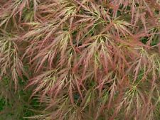 Acer palmatum dissectum Ornatum in 7cm pot ideal bonsai subject