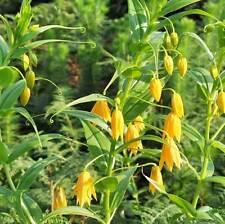 Gloriosa modesta - 10 Semi-GLORIA o FIAMMA LILY CLIMBER