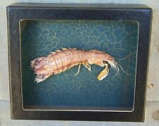 M2) Real MANTIS SHRIMP Squilla framed mounted Taxidermy Display shellfish crab