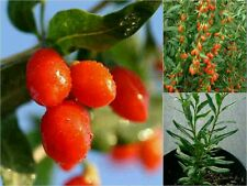 10 RED TIBETAN GOJI BERRY SEEDS (Lycium Barbarum) Edible Health Benefits Fruit