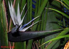 20x Samen Strelitzia Nicolai (weiße Paradiesvogelblume)