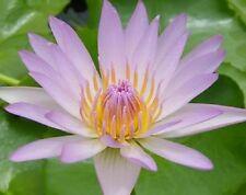 500 Seeds Light Pink bloomer Water Lily/Nympheae/Lotus