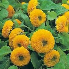 DWARF TEDDY BEAR SUNFLOWER Helianthus Annuus Flower 15 Seeds