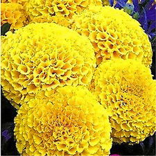 FD1663  □ Yellow Aztec Marigold Seed Ornamental Flower Tagetes Erecta ~50 Seeds