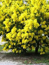 GOLDEN MIMOSA Seeds Acacia Baileyana Yellow Wattle Tree Flower Seeds 10 Seeds