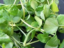 250 Seeds BIO of CRESS of Fontaine Plants Vegetables Vegetable garden Aromatic