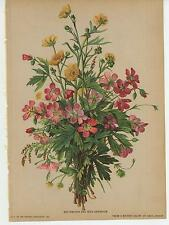 ANTIQUE PINK WILD GERANIUM FLOWERS YELLOW BUTTERCUPS WILDFLOWERS COLOR OLD PRINT