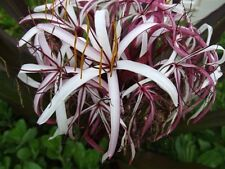 Queen Emma Lily Crinum (procerum) 1 Extra Large Bulb From Certified US Nursery
