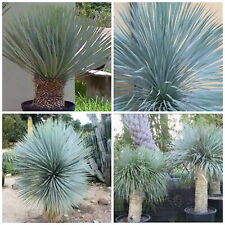 50 seeds of yucca rostrata, succulents, cacti, succulents seed R