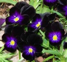 Viola Bowles Black Seeds -blossom all summer,almost black