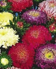 1000 POWDER PUFF ASTER MIX Callistephus Chinensis Flower Seeds + Gift & Comb S/H