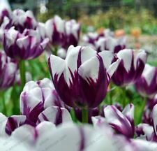 100 Bonsai Tulip Seeds Rare Purple& White Tulip Flower Seeds Home Garden Potted
