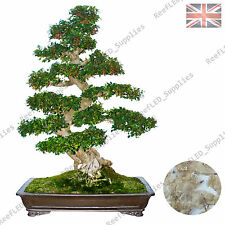 RARE Chinese Elm Bonsai,Japanese Tree Ulmus Parviflora-10 Viable Seeds-UK Seller