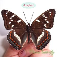 unmounted butterfly Nymphalidae limenitis populi ussuriensis A1