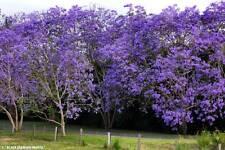 Jacaranda Mimosifolia      100  Fresh Seeds