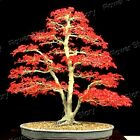 DIY Garden 20 Japanese Red Maple Seeds Awesome Easy to Grow  Bonsai 1