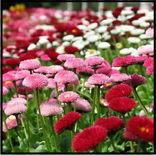 100 MIXED ENGLISH DAISY Bellis Perennis Flower Seeds