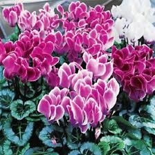 15 Cyclamen Seeds Sierra Syncho Flame Mix