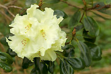 Rhododendron 'Soffrano' 40-60cm Tall In 5L Pot, Stunning Yellow Flowers
